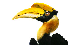 Hornbill in need of aspirin (alan shapiro photography) Tags: portrait black bird yellow colorful profile beak feathers negativespace fabulous birdwatching headache digitalcameraclub naturewatching naturallymagnificent vosplusbellesphotos thewonderfulworldofbirds ashapiro515 2010alanshapiro alanshapirophotography wwwalanwshapiroblogspotcom 2010alanshapirophotography