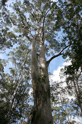 Valley of the Giants Tree Top Walk