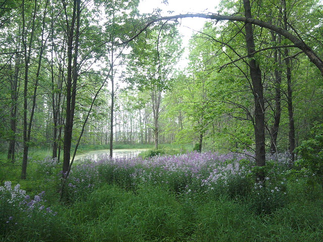 Purple flowers in the woods