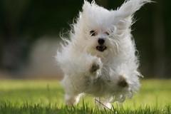 Bell plays (ido1) Tags: dog white grass puppy happy israel miniature backyard play bell run tiny maltese shoham maltesepuppy