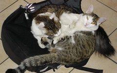 Volpino and Brighella (Alinabionda - Crazy Girl) Tags: pets cat gatto animalidomestici