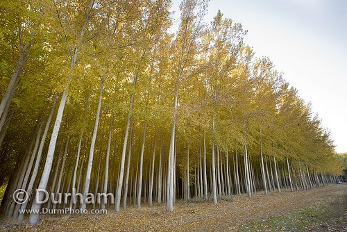 tree farms paper