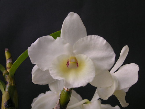 Dendrobium Sailor Boy 'Popeye'