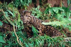 3 clouded leopard