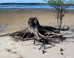 Mangrove (Mangiwau) Tags: seascape island log brisbane mangrov
