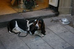Basset Hound in Barcelona (brunombo) Tags: barcelona travel vacation dog pet tourism animal cane spain riposo rest catalunya turismo bassethound viaggio animale vacanza barcellona holyday bassotto festivit smcpda1855mmf3556al justpentax