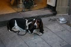Basset Hound in Barcelona (brunombo) Tags: barcelona travel vacation dog pet tourism animal cane spain riposo rest catalunya turismo bassethound viaggio animale vacanza barcellona holyday bassotto festività smcpda1855mmf3556al justpentax