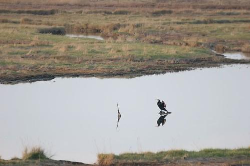 La bête noire des pêcheurs : le grand Cormoran