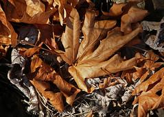 Tom McCall Preserve - Bigleaf maple growing on a sunny bluff (Tony Pulokas) Tags: autumn oregon leaf maple columbiagorge mayerstatepark bigleafmaple tommccallpreserve fallqtr