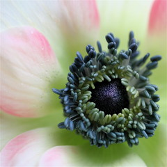 I feel pretty! (cattycamehome) Tags: pink flowers blue winter music white flower macro green nature water floral beautiful smile tag3 petals lyrics spring bravo pretty tag2 colours tag1 blossom song pastel centre petal musical anemone stamen opening bud xxxx westsidestory excellence catherineingram magicdonkey stephensondheim xoxoxoxoxoxox anawesomeshot january2008 superbmasterpiece diamondclassphotographer singalongacatty magiccathy