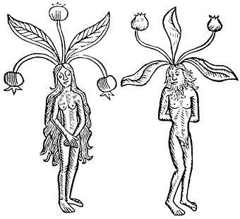 raíces de mandrágora