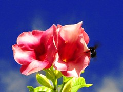 "Bill's Hard Drive - perfect timing (i b u) Tags: pink blue flower green leaves contrast flickr 123 321 pinkflower microsoft abc ibrahim ibu pinkblue flickrcolors outstandingshots maldivianphotographer maldivianphotography abigfave ibrahimmohd ibumohd ibuphotoscom maldivesibusadventure maldivesphotography geomaldives microsoftbuyingyahoo ""ourmasterpieces yahoocolors ibphotographycom maldivesphotographer"