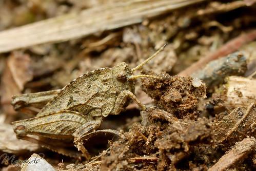 Mimicry locust