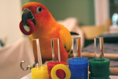 Stewie and his colored rings (melanie.phung) Tags: bird animals parrot homepage stewie sunconure aratingasolstitialis featheryfriday melaniephung