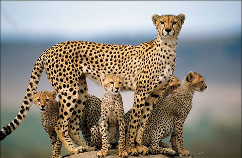 Cheetah Family.jpg