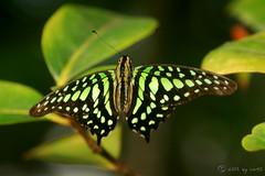Black & Green (hartp) Tags: black color colour green nature colors butterfly d50 catchycolors insect münchen klein nikon natural little natur grün farbe insekt soe schwarz farben schmetterling helluva goldenglobe graphiumagamemnon welltaken hartp geschweiftereichelhäher hartp94315 wowiekazowie people´schoice macromix spiritofphotography