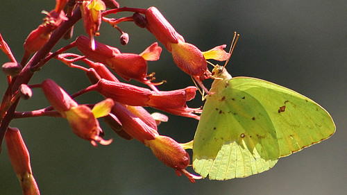Sulphur on Red Buckeye