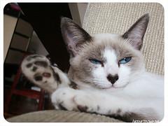 ZZZZZZzzZZzz..hhhmm??? (Sabrina Eras) Tags: sleeping kitten heart blueeyes kitty coração gata sakura dormindo