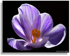 Sunshine Warrior (West County Camera) Tags: crocus oa imagepoetry flowersarebeautiful macroflowerlovers excellentsflowers natureselegantshots quarzoespecial qualitypixels awesomeblossoms panoramafotogrfico flowerquest worldsartgallery oracosm doublefantasy fleursetpaysages mygearandme mygearandmepremium mygearandmebronze mygearandmesilver mygearandmegold ringexcellence