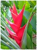 Heliconia caribaea 'Purpurea' or 'Red' at Botanical Garden Putrajaya