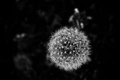 IMG_0743 (Jackiem552) Tags: flower macro weed seed dandelion macrophotography macrophotograph