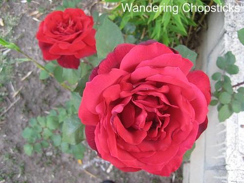 Identify My Rose 3