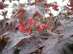 Japanese Maple in the Rain 3