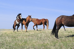 Spring on the prairie (crabshack) Tags: horses southdakota mating frisky xrated d300 1755mm 08roadie cheyenneriverres