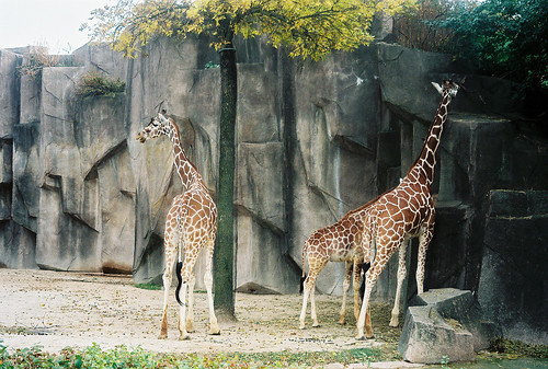 Milwaukee Giraffes