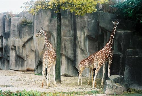 Milwaukee Giraffes