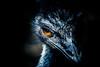 20170216_01_EMU (foxfoto_archives) Tags: olympus omd em5 mark ii mzuiko digital ed 40150mm f28 pro mc14 developed by adobe photoshop lightroom cc 20158 emu エミュー