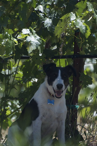 Heres our featured Vine Two, Row Six. As you can see, its now bushy enough to shade a terrier.