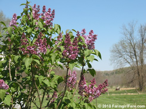 Lilacs! 8