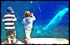 Watching Belugas at Mystic Aquarium (melissamhartley) Tags: blue children fun aquarium connecticut shore mystic photoscape