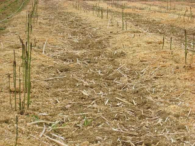 Beds of Asparagus