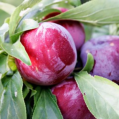 Plum_on_tree02
