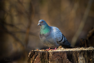 Pigeon on a stump