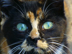 Innocence (sam2cents) Tags: colour green nature animal cat fur eyes kitten tortoiseshell innocence pussycat meaning felisdomesticus panasoniclumixdmclz3