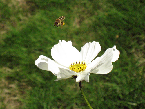bee and white cosmo.jpg
