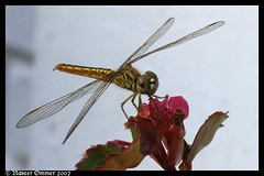 dragon art (Naseer Ommer) Tags: india dragonfly kerala southindia odonata anawesomeshot naseerommer