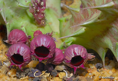 Huernia urceolata flowers (Martin_Heigan) Tags: africa camera flower macro nature field digital southafrica succulent nikon close martin number photograph d200 dslr namibia asclepiadaceae kaokoland huernia 60mmf28micro asclepiad stapeliad flowersadminfave nikonstunninggallery heigan urceolata 12may2007 jsk073 mhsetstapeliads mhsetflowers