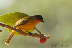 Dont leave a fig tree without sighting a birds of this kind (shivanayak) Tags: in