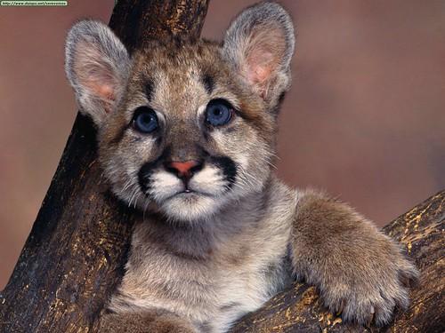 Cougarbaby.jpg