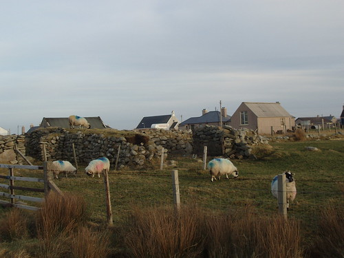 Sheep in croftland in the village