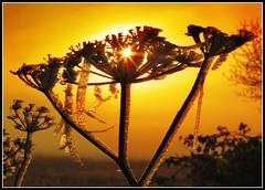 Morning Sculptors! (adrians_art) Tags: morning red orange plants sun yellow sunrise golden frost silhouettes magicdonkey