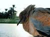 Before departure (aZ-Saudi) Tags: bird death farm pigeon before palm arabic saudi arabia departure hdr ksa demise alhasa decease arabin ِarabs
