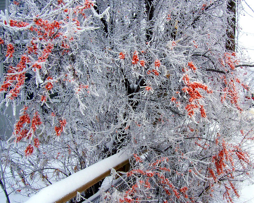 red amidst the hoarfrost