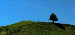 Tree On A Hill | Arvore no Colina (Jonathan Enns) Tags: blue light summer sky tree green field grass contrast fence spring alone horizon hill pasture lonely posts grassy inclination awesometrees