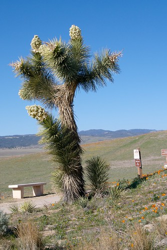 Joshua Tree at Antelope Valley California Poppy Reserve