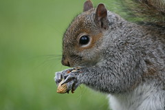 I love my nuts... (law_keven) Tags: fab england london nature animals furry squirrel soe kensingtonpark goldendragon naturesfinest supershot explore500 abigfave platinumphoto anawesomeshot impressedbeauty theperfectphotographer goldstaraward